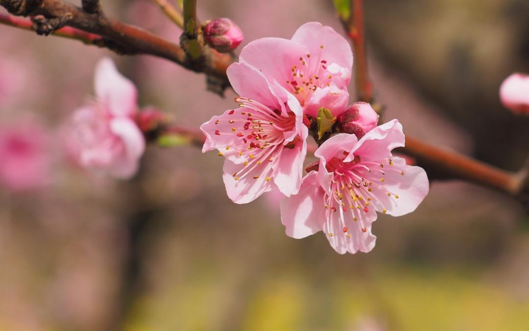 Wie Kirschblüten können Beziehungen im Frühling aufblühen.